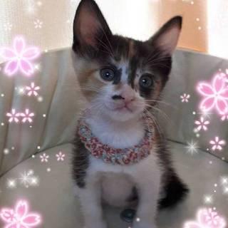 2ヶ月位  元気一杯三毛猫桜子ちゃん!
