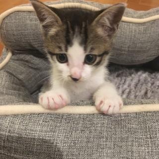 ◆甘えん坊 可愛いキジ白 子猫 オス 1.5ヶ月◆