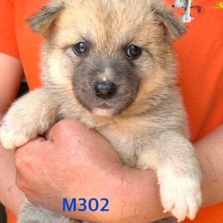 個体番号:M302 赤ちゃんわんこです。