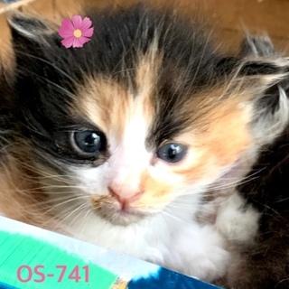 OS-741 三毛長毛の可愛い赤ちゃんです。