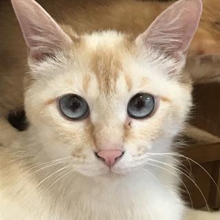 シャム系美猫 さくら 3歳くらいの女の子