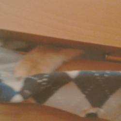 ドアの下の隙間で遊ぶうちのソマリです(その2)