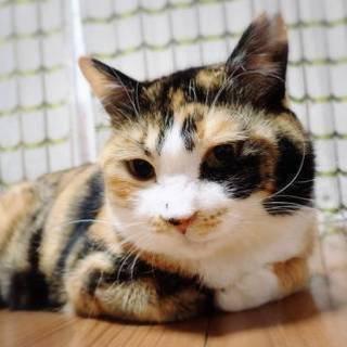 【5/19東日本橋】おっとり優しい三毛猫♡美保