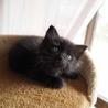 長毛黒猫子猫「ハル」ちゃん♪