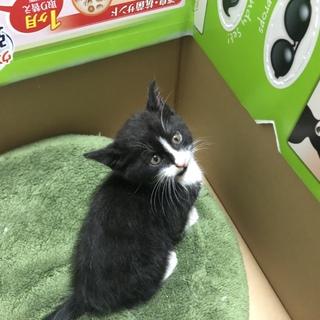 生後1ヶ月半の子猫の里親さんを探しています