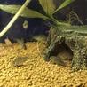 コリドラスステルバイの稚魚を10匹育てて下さい! サムネイル2