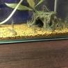 コリドラスステルバイの稚魚を10匹育てて下さい! サムネイル3