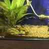 コリドラスステルバイの稚魚を10匹育てて下さい! サムネイル4