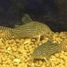 コリドラスステルバイの稚魚を10匹育てて下さい! サムネイル5