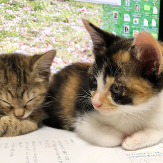 個性的な顔とべっ甲柄の三毛子猫アザミ