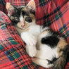 個性的な顔とべっ甲柄の三毛子猫アザミ サムネイル2