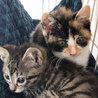 個性的な顔とべっ甲柄の三毛子猫アザミ サムネイル3