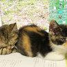 個性的な顔とべっ甲柄の三毛子猫アザミ サムネイル4