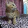 仔猫、人馴れ抜群、茶トラの男の子です。(春左衛門) サムネイル3
