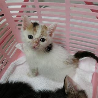 とても人懐っこい可愛い白三毛ちゃんです