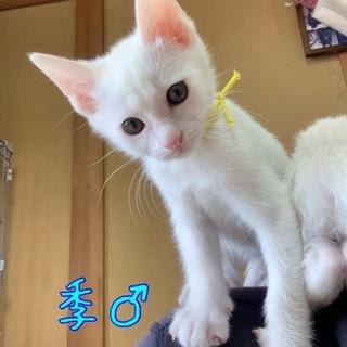 頭のてっぺんだけ茶色の白猫兄弟 季