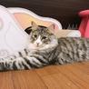 穏やかで優しい大型猫ブラウン君♂ サムネイル3