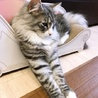 穏やかで優しい大型猫ブラウン君♂ サムネイル6