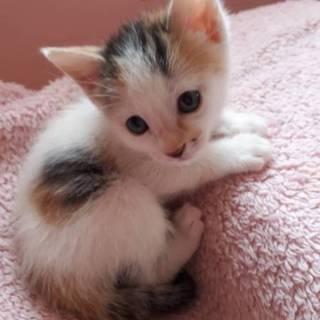 生後1ヶ月の薄三毛ちゃん