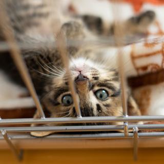 ふわふわ♪やんちゃなキジトラ仔猫
