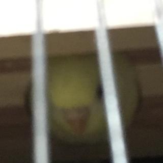 パステルカラーのルチノー(雌)巣箱大好き