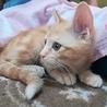 仔猫、人馴れ抜群茶とらの男の子です。(春の丈) サムネイル4