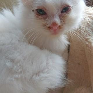 生後2ヶ月未満の白猫です①