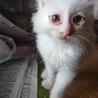 生後2ヶ月未満の白猫です① サムネイル3
