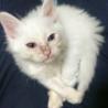 生後2ヶ月未満の白猫です②