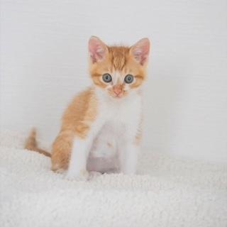 茶白子猫 ちゃお君 里親募集