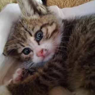 子猫 生後二か月 キジトラ