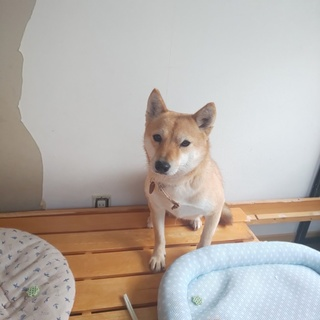 2歳柴犬の女の子