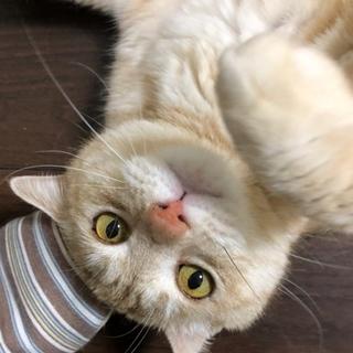 成猫 茶トラ きなこ オス 美形です!