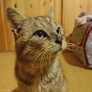 愛嬌たっぷりの可愛いおじいちゃん保護猫