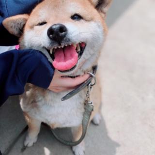 笑顔がとびきり素敵な柴犬!