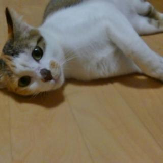 キュートな三毛猫 歌舞伎ちゃん