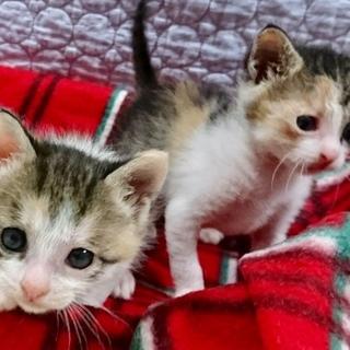 募集一時停止  生後1ヶ月の三毛猫姉妹