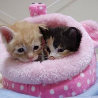 1か月すぎの子猫●茶トラ三毛ペアで