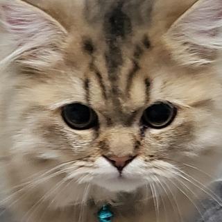 チンチラペルシャ子猫2匹