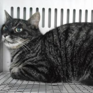 里親様を待っています。成猫 性別不明 灰黒