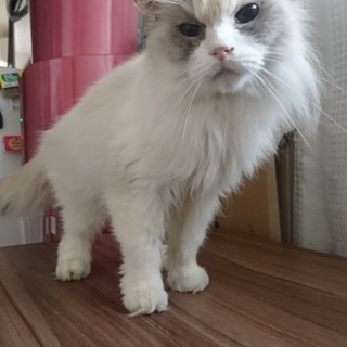 〈東京〉青眼ラグドール風人懐っこい迷い猫