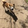 1歳 柴犬くん サムネイル2