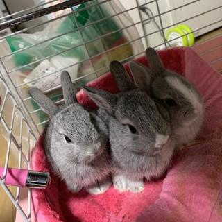 ミニウサギ(産まれたて)