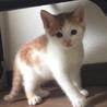 可愛い茶白子猫♂