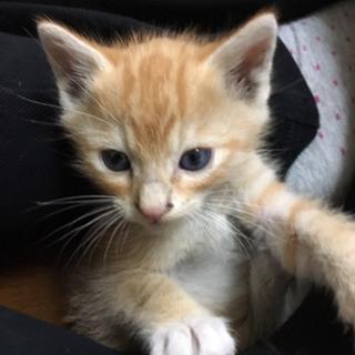 里親募集中!かわいい茶白の子猫です