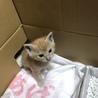 里親募集中!かわいい茶白の子猫です サムネイル2