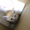 里親募集中!かわいい茶白の子猫です サムネイル4
