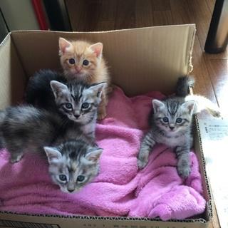 【子猫4匹】里親募集(トラ)オス