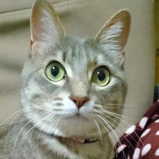 グレー縞美猫レモンちゃん2歳