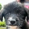 保護ナンバーD1338 プードルハーフ子犬